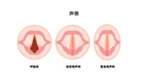 発声時の声帯