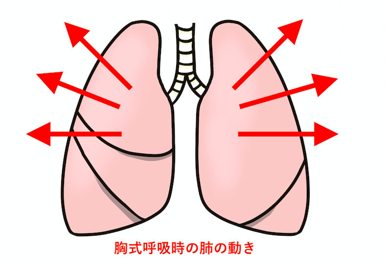 胸式呼吸とは外肋骨筋が伸縮し肺が横に広がっていく呼吸