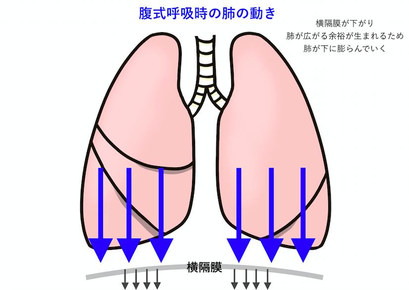 腹式呼吸時は横隔膜が下がることで肺が下に広がる余裕が生まれる